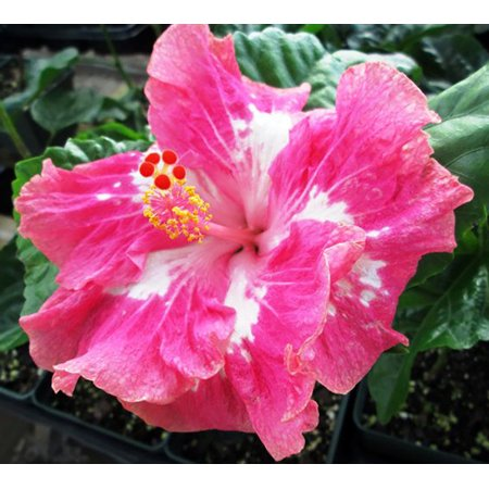Sweet Cheeks Tropical Cajun Hibiscus Plant 4 Pot Indoors Or Out