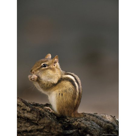 Eastern Chipmunk, (Eutamia Spp), Algonquin Provincial Park, Ontario, Canada Print Wall Art By Thorsten