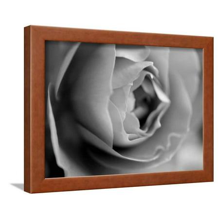 Dramatic Rose Framed Print Wall Art By Nicole Katano