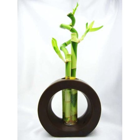 9GreenBox - Live Spiral 3 Style Lucky Bamboo Plant Arrangement with Ceramic Vase Brown