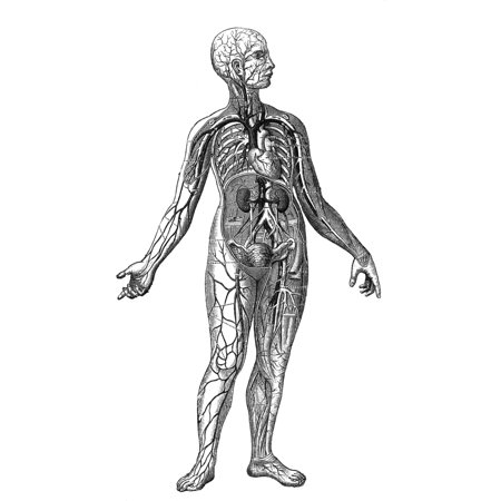 Anatomy Vascular System Nthe System Of Blood Vessels In The Human ...