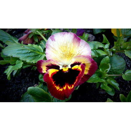 Canvas Print Flower Plant Yellow Red Burgundy Pansy Nature Stretched Canvas 10 x 14 - Red Panda Kittens For Sale