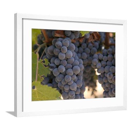 - Chardonnay Grapes, Yountville, Napa Valley, California Framed Print Wall Art By Walter Bibikow