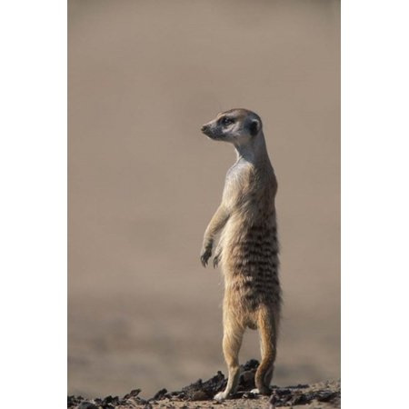 South Africa Kgalagadi Meerkat Mongoose Poster Print by Paul Souders ...