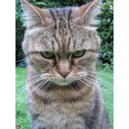 Laminated Poster Angry Cat Kitten Kitties Cute Funny Cool Kitty Poster Print 24 x (Angry Kitty)