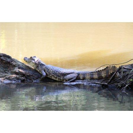 Canvas Print Rainforest Costa Rica Reptile Stretched Canvas 10 x