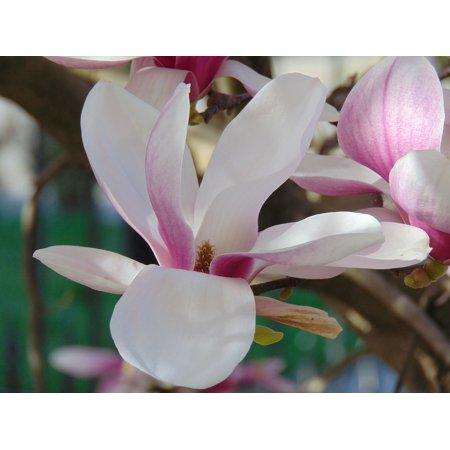 LAMINATED POSTER Magnolia Flower Flower Tulip Tree Poster Print 24 x 36 ()