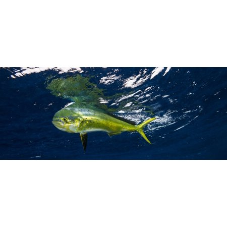 Smaller Dorado  Coryphaena Hippurus  Caught Now Swims Below The Water Surface Durban South Africa Canvas Art   Panoramic Images  27 X 9