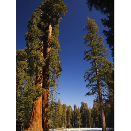 California, Sequoia National Park, Huge Trunks of Tall Sequoia Trees on Tall Trees Trail in Winter Print Wall Art By Christian Kober