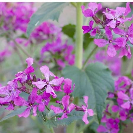 Lunaria Money Plant Flower Garden Seeds - 1 Oz - Perennial Flower Gardening Seed - Lunaria biennis