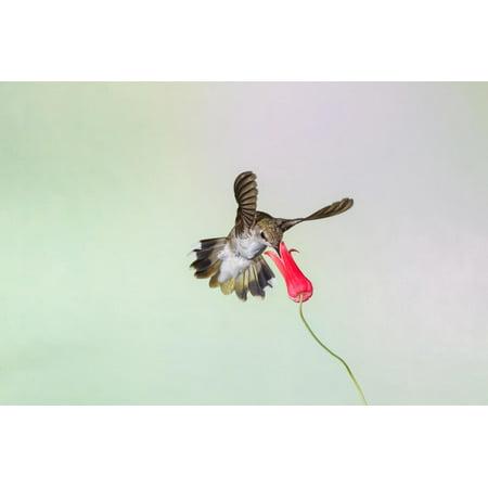 Black-Chinned Hummingbird Female Feeding Print Wall Art By Larry