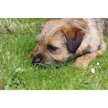 Canvas Print Lying Dog Cute Border Terrier Animal Garden Pet Stretched Canvas 10 x 14