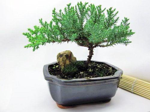 9GreenBox Bonsai Juniper Tree by 9GreenBox