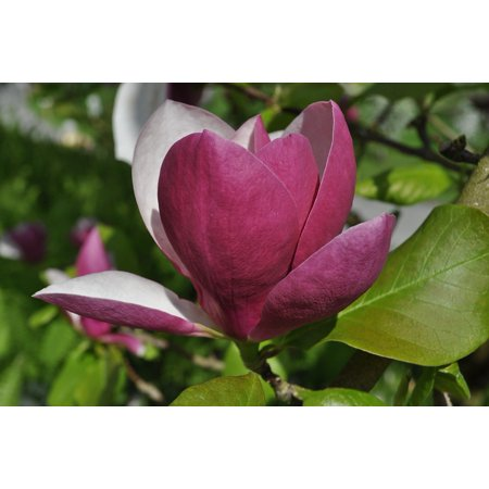 Laminated Poster Blossom Red Bloom Magnolia Bloom Flower Nature Poster Print 11 x 17
