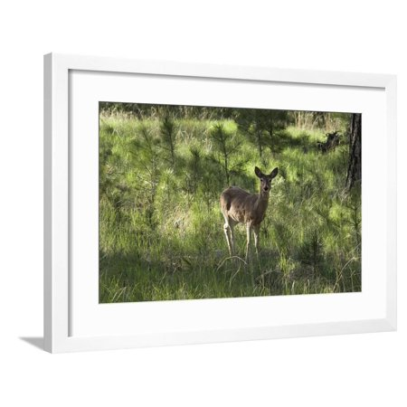 White-Tailed Deer in a Forest of the Black Hills, South Dakota Framed Print Wall Art