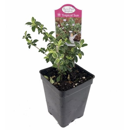 Pink Mountain Serissa Tree   2 5  Pot   House Plant  Fairy Garden Plant  Bonsai