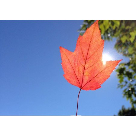 Laminated Poster Leaf Red Hibiscus Autumn Leaves Red Color Poster
