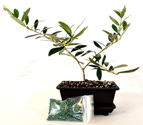 9GreenBox Olive Tree Bonsai with Water Tray and Fertilizer by 9GreenBox