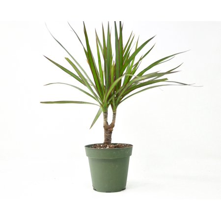 """SALE** Dracaena Marginata Cane - In 4"""" Pot / Live Home and Garden Plants / Easy to Care for / Care Guide Included"""