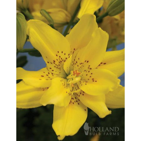 Asiatic Lily (Kensington Double Asiatic Lily )