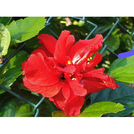 Laminated Poster Plants Double Hibiscus Flower Red Poster Print 24 X