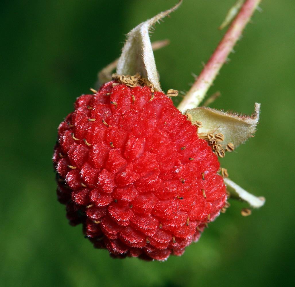 "Thimbleberry Raspberry - Rubus parviflorous - Hardy - Sweet & Juicy - 2.5"" Pots"