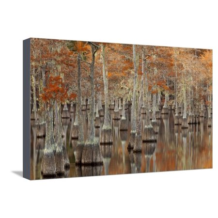 Twin Well Warmer - USA, Georgia. Twin City, Cypress trees with moss in the fall. Stretched Canvas Print Wall Art By Joanne Wells