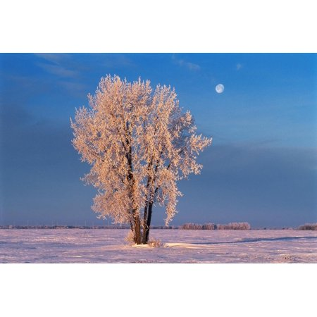 Canada, Manitoba, Dugald. Hoarfrost on cottonwood tree and setting moon. Print Wall Art By Jaynes Gallery
