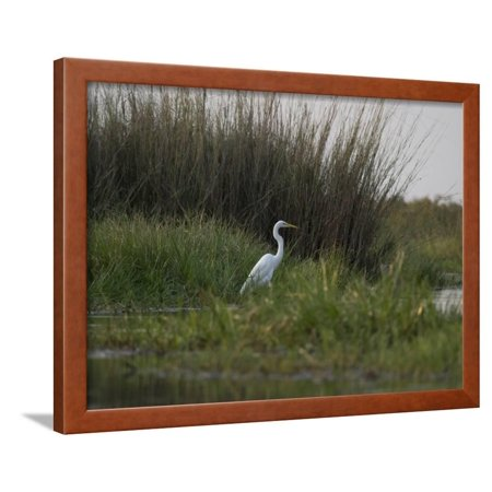 Great White Heron (Ardea Alba), Okavango Delta, Ngamiland, Botswana Framed Print Wall Art By Green Light Collection