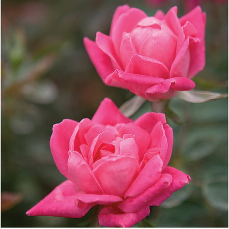 Pink Double Knock Out Rose, Landscape and Garden