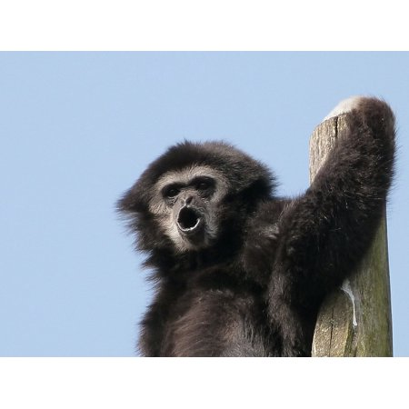 LAMINATED POSTERGibbon White Hands Animals Great Apes Poster Print 24 x 36 ()