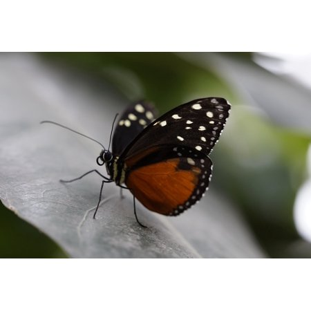 LAMINATED POSTER Tropical Exotic Monarch Butterfly Butterfly Monarch Poster Print 24 x 36