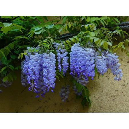 Blue Moon Wisteria Vine - Live Plant - ( QT (Planting Jasmine Vine)