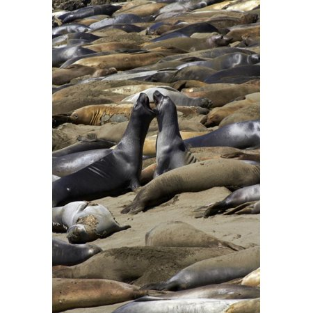 Northern Elephant Seals Fighting, Piedras Blancas Elephant Seal Rookery, California Print Wall Art By David Wall
