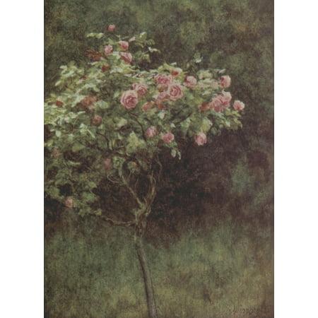 Happy England 1904 Study of a Rose Bush Canvas Art - Helen Allingham (18 x 24)