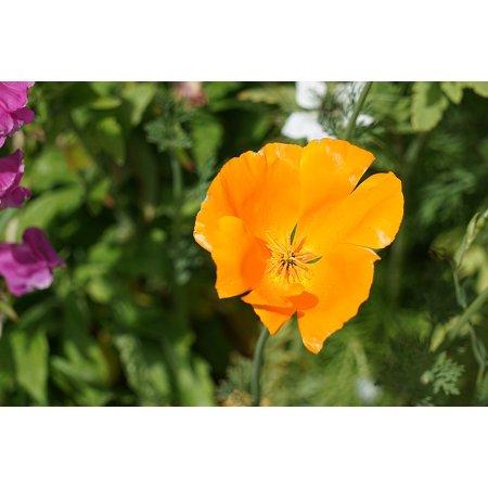LAMINATED POSTER Garden Petals Flowering Flora Poppy Flower Poster Print 24 x 36