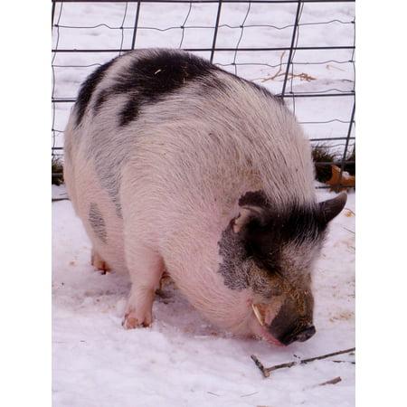 LAMINATED POSTER Tusk Africa Warthog Swine Pig Snout Nature Hog Poster Print 24 x - Warthog Pig