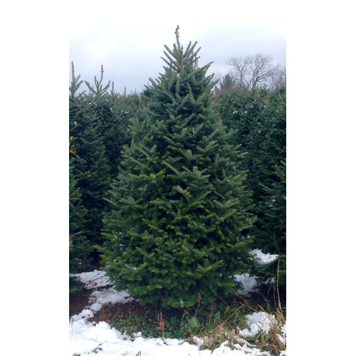 Real Christmas Trees Delivered 5.5' - 6' Green Fir Freshly Cut Christmas Tree