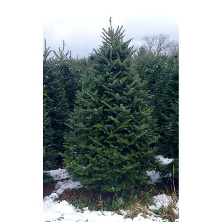 Real Christmas Trees Delivered 6 Green Fir Freshly Cut Tree
