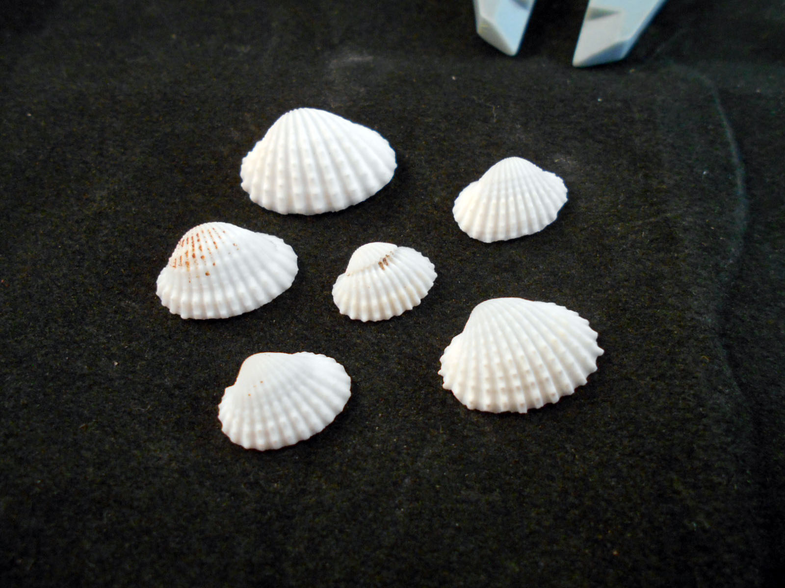 Tiny White Ark Shells Seashells Beach Wedding Hobby Craft Vase Filling 500+ 12-34 Bulk 1 Lb