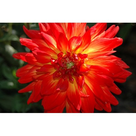 - LAMINATED POSTER Blossom Petal Red Flower Dahlia Floral Flower Poster Print 24 x 36
