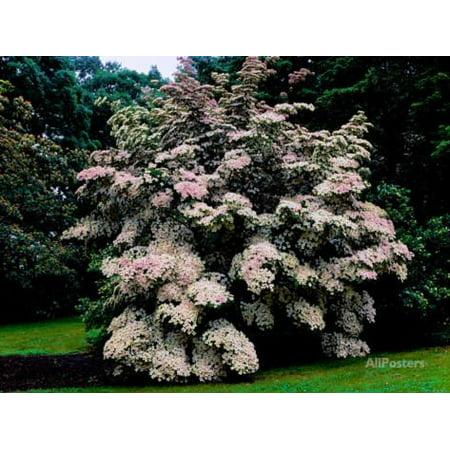 - Kousa Dogwood trees (Cornus kousa) in a garden, United States National Arboretum, Washington DC... Print Wall Art