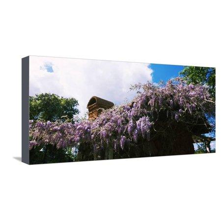 Lilacs Flowers at Kuleto Estates Winery, St. Helena, Napa County, California, USA Stretched Canvas Print Wall Art