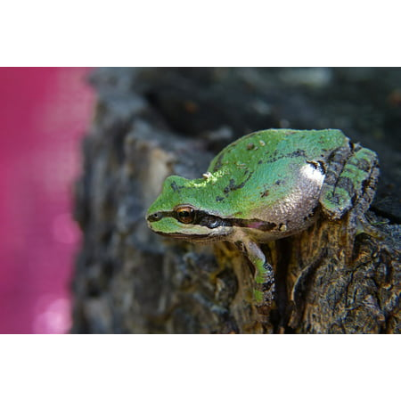 Canvas Print Creature Small Amphibian Frog Animal Green Stretched Canvas 10 x - Amphibia Frog