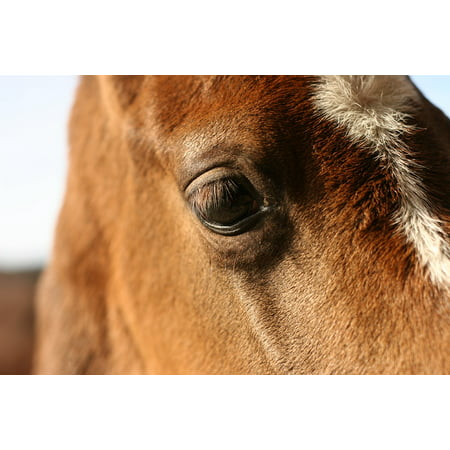 Canvas Print Eye Equine Chestnut Equestrian Nature Head Horse Stretched Canvas 10 x 14