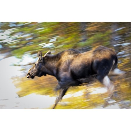 Woodsy Moose (Female Moose Running Through Woods Maligne Lake Jasper National Park Alberta PosterPrint )