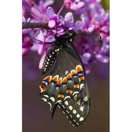 Black Swallowtail Newly Emerged on Eastern Redbud, Marion County, Il Print Wall Art By Richard ans Susan Day