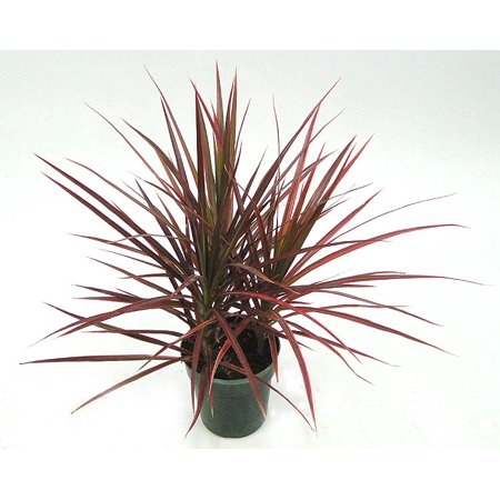 Image of Hawaii Live Plants Dr. Colorama
