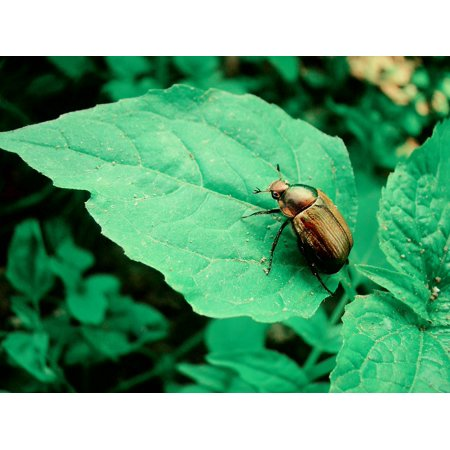 Canvas Print The Bushes Beetle Golden Sheet Green Summer Stretched Canvas 10 x 14