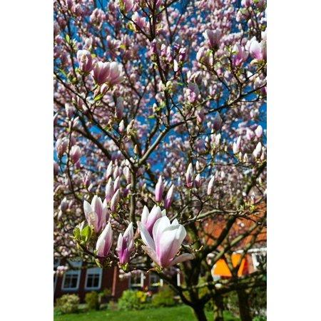 Beautiful Blossom (Beautiful Tulip Blossom Trees in Bloom Print Wall Art By Peter Wollinga )